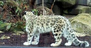 Snöleopard i Jardin des Plantes